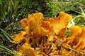 Jack-o'-Lantern Mushroom - Omphalotus olearius (30731591688).jpg
