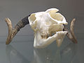 Jacob sheep skull at the Royal Veterinary College anatomy museum.jpg