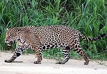 Jaguaro (Panthera onca palustris) maskla Tri Fratoj-Rivero (altranĉita).JPG