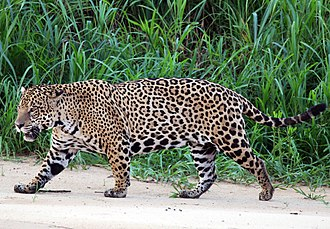 Jaguar - Male Pantanal jaguar at Three Brothers River, São Paulo, Brazil
