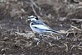 Japan seems to be full of these wagtails (5221415219).jpg