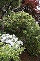 Japanese Azalea (Rhododendron mucronatum) (3504276657).jpg
