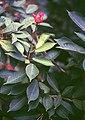 Jatropha integerrima 2.jpg