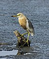 Javan Pond Heron - Surabaya, East Java, Indonesia.jpg
