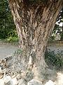 Jf9408Pterocarpus indicus Lubaofvf 13.JPG