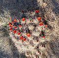 Joshua Tree National Park - Mojave Mound Cactus (Echinocereus triglochidiatus) - 01.JPG