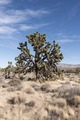 Joshua Trees dot the desert in the Mojave National Preserve in California LCCN2013631110.tif