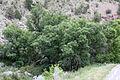 Juglans major trees.jpg