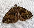 July Highflyer. Hyriomena furcata - Flickr - gailhampshire.jpg