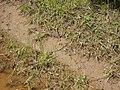 Juncus . planifolius R.Br. (AM AK294870-3).jpg