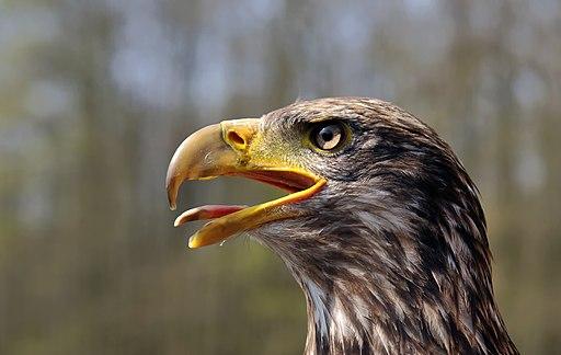 Juvenile Bald Eagle (head)