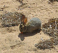 Juvenile Desert Cottontail eating carrot.jpg