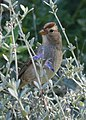 Juvenile White-Crowned Sparrow (10126579945).jpg