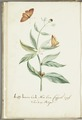 KITLV - 37A35 - Markée, Cornelis - Coffee branch with butterfly without caterpillar - Brush drawing - Circa 1763.tif