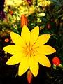 Kabylie's flower.jpg
