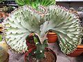 Kaktus - panoramio (1).jpg