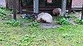 Kaliningrad Zoo - Capybara.jpg