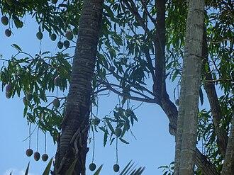 Kent (mango) - Original 'Kent' mango tree, Coconut Grove, Florida