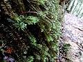 Kinabalu Park, Ranau, Sabah, Malaysia - panoramio (20).jpg