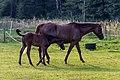 Kirchspiel, Weddern, Pferde nahe Karthaus -- 2012 -- 4054.jpg