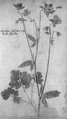 Kniphof 1747 Aquilegia sylvestris pl 488.png