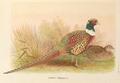 Kobdo Pheasant by H. Jones.png