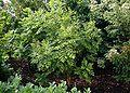 Koelreutheria-paniculata.JPG