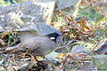 Koklass Pheasant (male).jpg