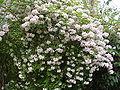 Kolkwitzia amabilis2.jpg