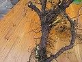 Korina 2017-11-04 Mahonia aquifolium 1.jpg