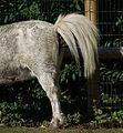 Kotendes Pony 2011.JPG