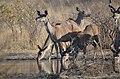 Kudu of kalahari.jpg