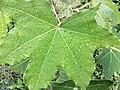 Kukui nut leaf.jpg