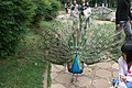 Kunming City Zoo Peacock (9964704724).jpg