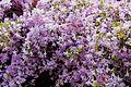 Kurume Azalea - National Rhododendron Gardens, Olinda, Victoria Australia (6225519245).jpg