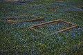 Kwitnące cebulice syberyjskie porastające nagrobki, cmentarz w Sztumie.jpg