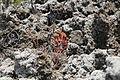 La Palma - El Paso-Fuencaliente - LP-2 - Lava of El Charco + Aeonium 03 ies.jpg