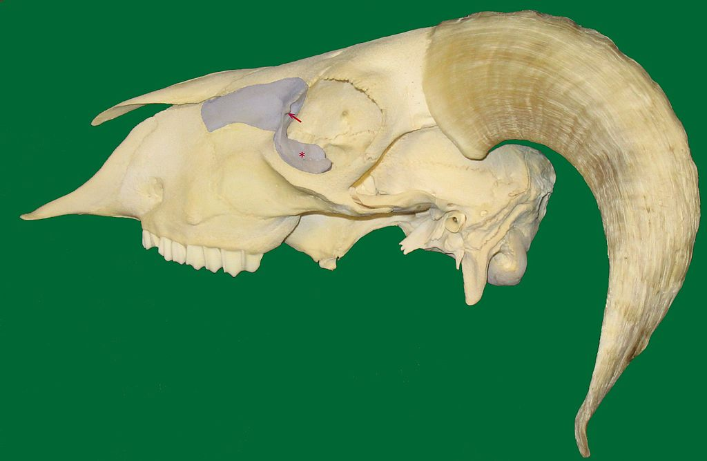Datei:Lacrimal bone (sheep).jpg – Wikipedia