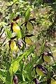 Lady's-Slipper Orchid - Cypripedium calceolus (14248219953).jpg