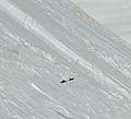 Lagopus muta Rock ptarmigan Val Lasties Dolomites.jpg