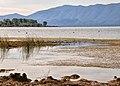 Lake Scutari by Dobër, Albania 2019 06.jpg