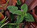 Lamium purpureum 106539568.jpg