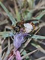 Lasioglossum nigripes pharaonis 1.jpg