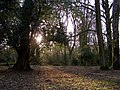 Late afternoon in Tantany Wood, New Forest - geograph.org.uk - 145758.jpg