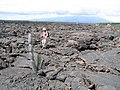 Lava Flows on Isabela island in Galapagos Islands.jpg