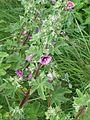 Lavatera arborea - Flickr - peganum (2).jpg