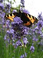 Lavender and butterfly (35544761915).jpg