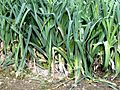 Leek field in Italy 3.jpg