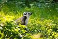 Lemur (36499871313).jpg