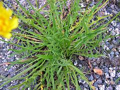 240px leontodon autumnalis 1196083